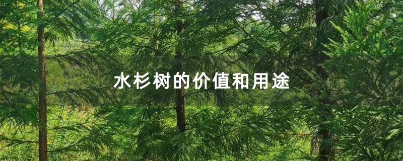 水杉树的价值和用途