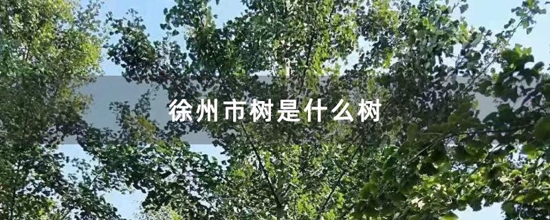 徐州市树是什么树