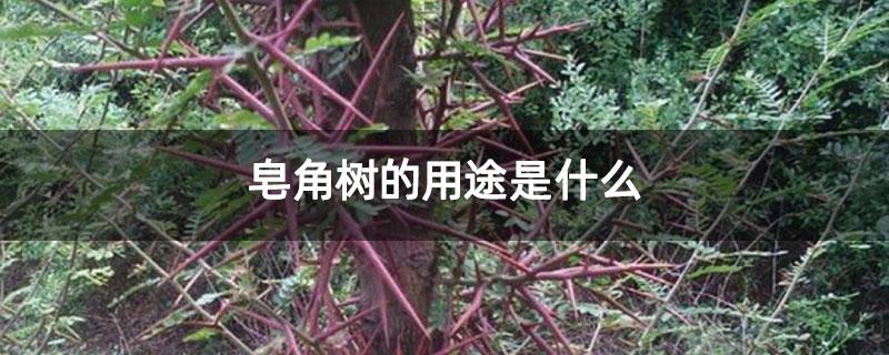 皂角树的用途是什么