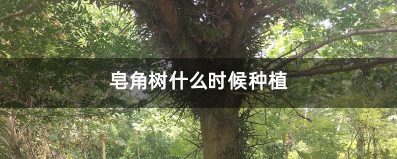 皂角树什么时候种植