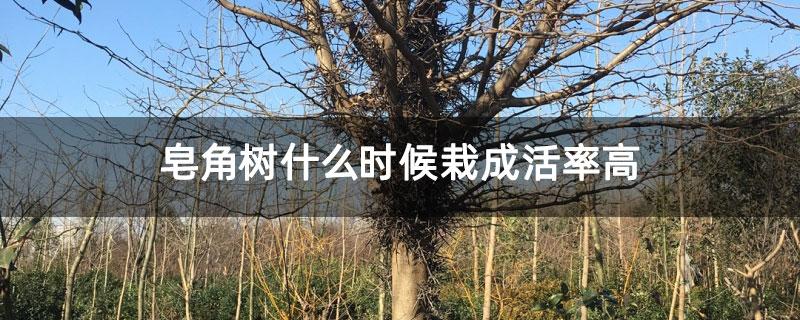 皂角树什么时候栽成活率高