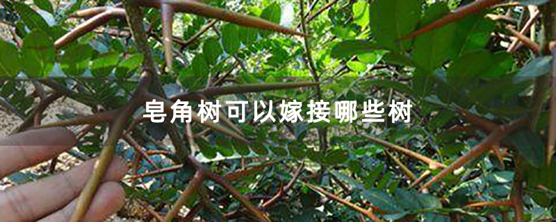 皂角树可以嫁接哪些树