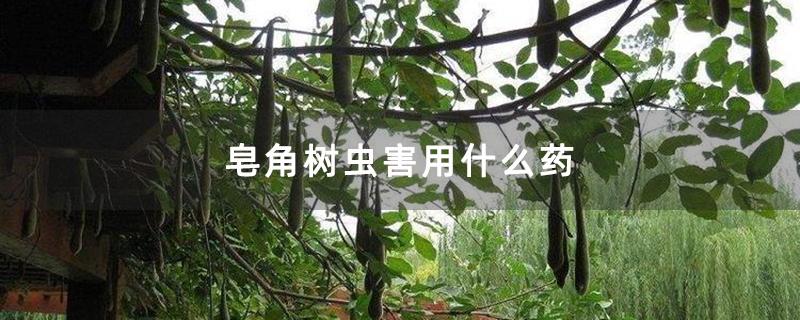 皂角树虫害用什么药