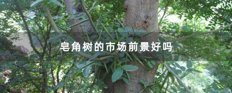 皂角树的市场前景好吗