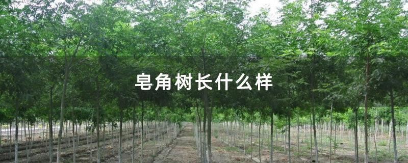 皂角树长什么样