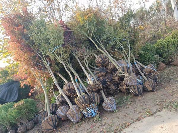绿化苗木的规格术语及测量方法