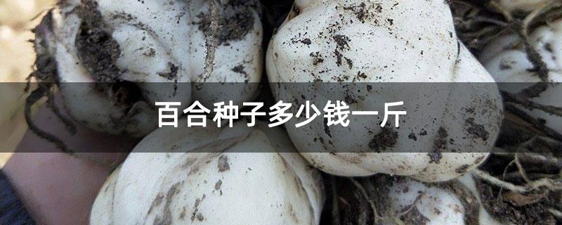 百合种子多少钱一斤