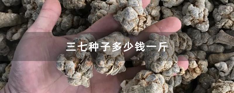 三七种子多少钱一斤