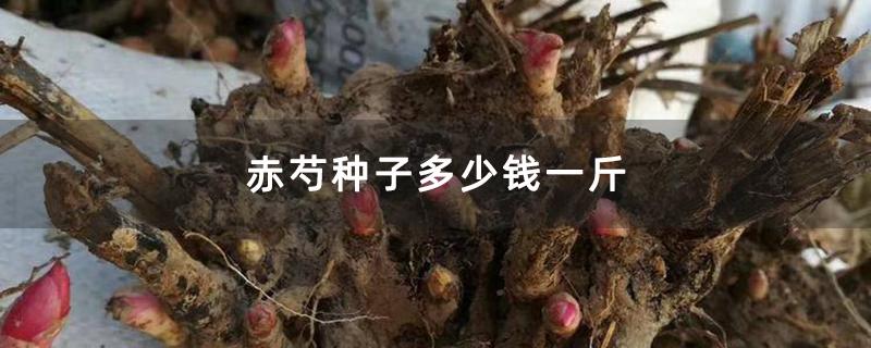赤芍种子多少钱一斤
