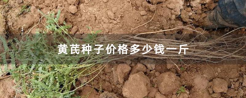黄芪种子价格多少钱一斤