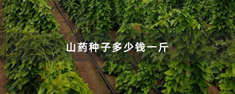 山药种子多少钱一斤