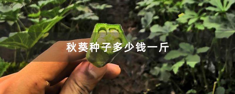 秋葵种子多少钱一斤