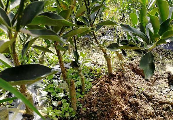 不同繁殖方法的苗木都有什么区别?