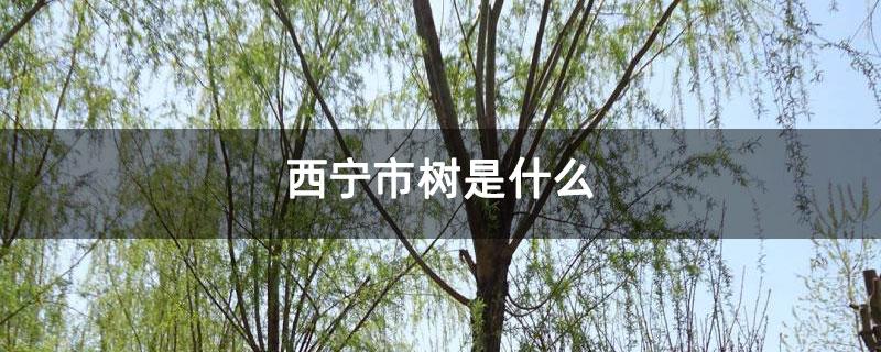 西宁市树是什么