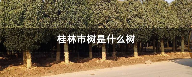 桂林市树是什么树