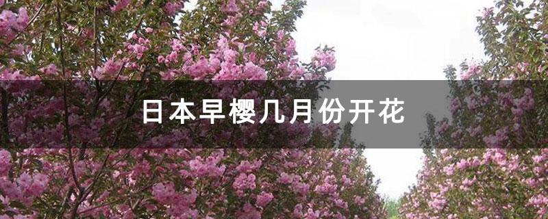 日本早樱几月份开花