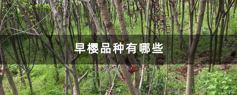 早樱品种有哪些
