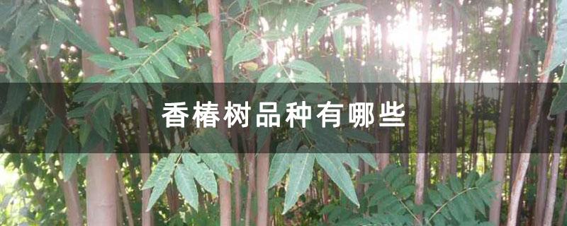 香椿树品种有哪些