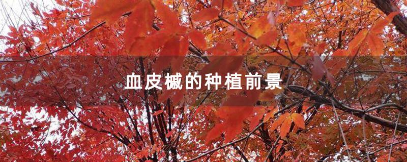 血皮槭的种植前景