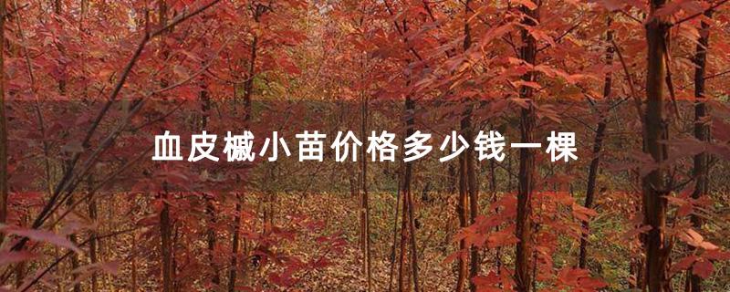 血皮槭小苗价格多少钱一棵