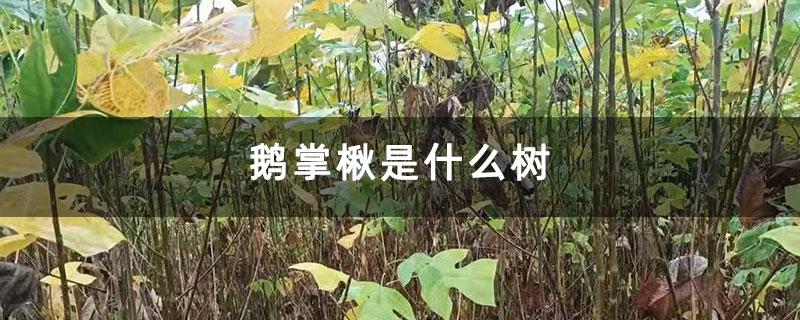 鹅掌楸是什么树