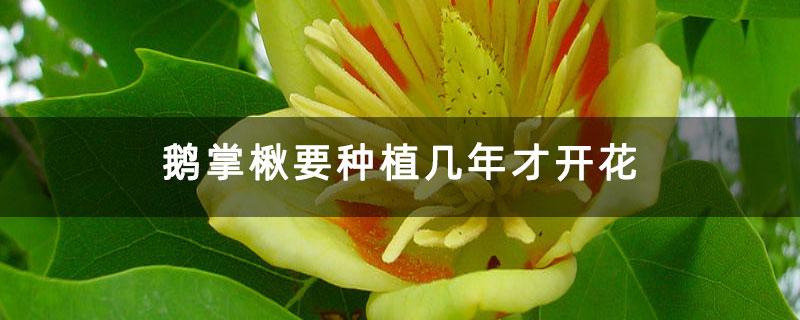 鹅掌楸要种植几年才开花