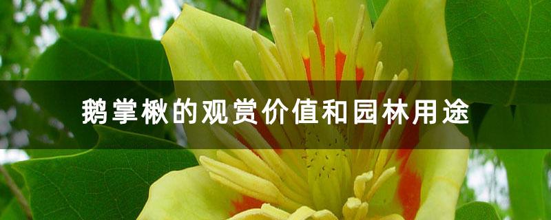 鹅掌楸的观赏价值和园林用途