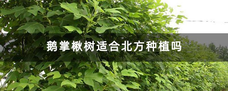 鹅掌楸树适合北方种植吗