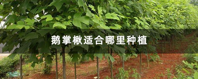 鹅掌楸适合哪里种植