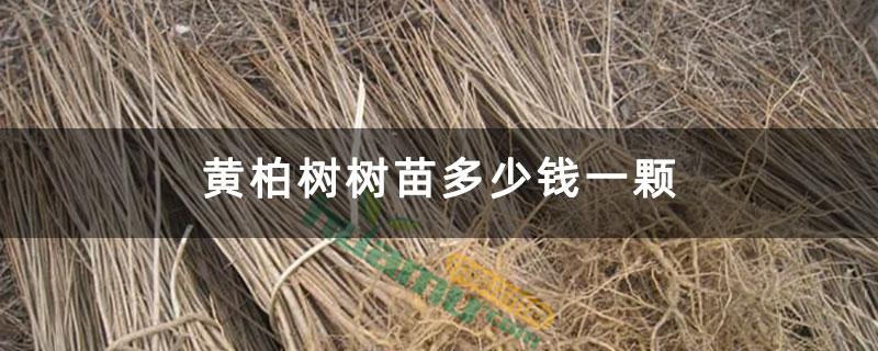黄柏树树苗多少钱一颗