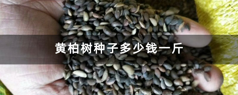 黄柏树种子多少钱一斤