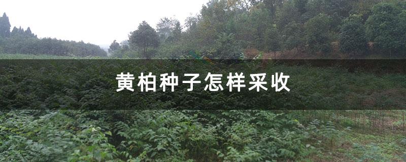 黄柏种子怎样采收
