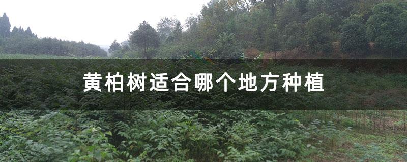 黄柏树适合哪个地方种植