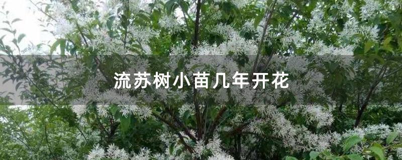 流苏树小苗几年开花