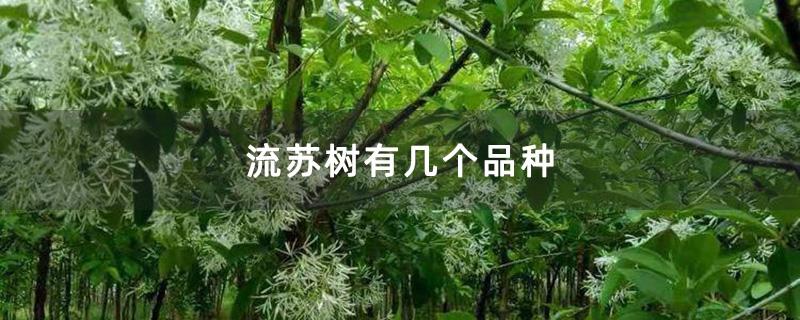 流苏树有几个品种