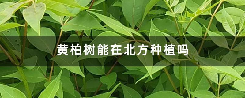 黄柏树能在北方种植吗