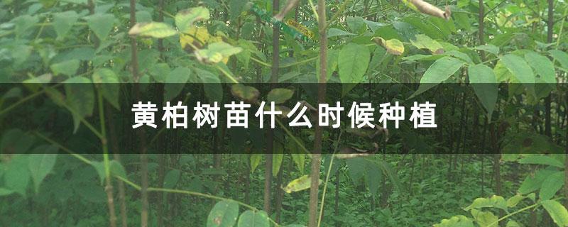 黄柏树苗什么时候种植