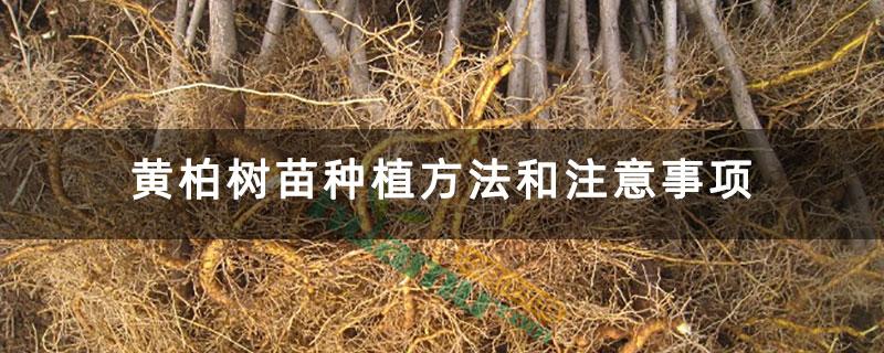 黄柏树苗种植方法和注意事项