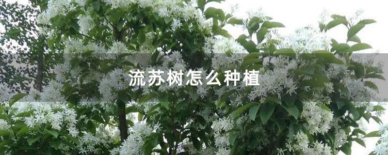流苏树怎么种植