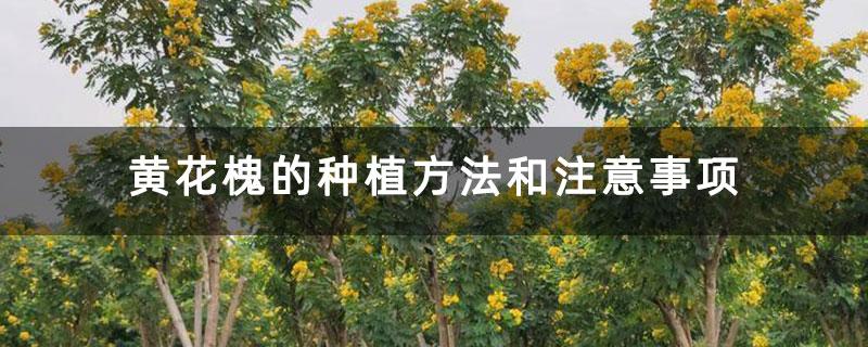 黄花槐的种植方法和注意事项