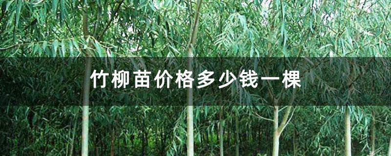 竹柳苗价格多少钱一棵