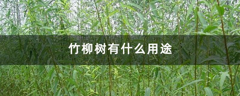 竹柳树有什么用途