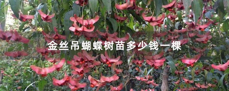 金丝吊蝴蝶树苗多少钱一棵