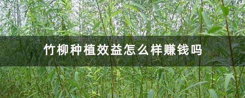 竹柳种植效益怎么样赚钱吗