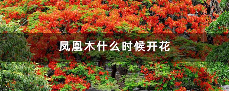 凤凰木什么时候开花
