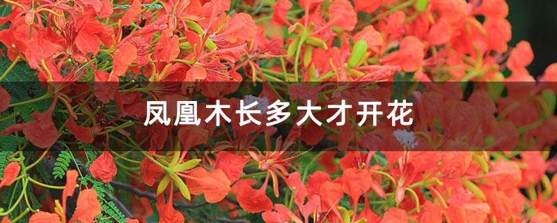 凤凰木长多大才开花