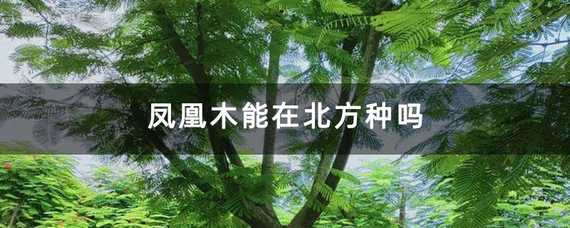 凤凰木能在北方种吗