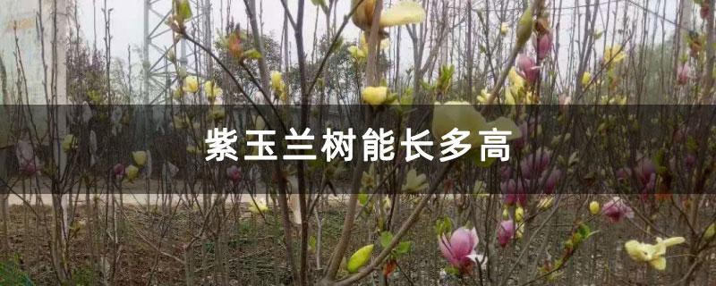 紫玉兰树能长多高
