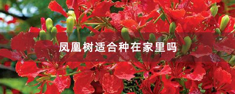 凤凰树适合种在家里吗