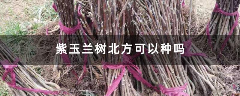 紫玉兰树北方可以种吗